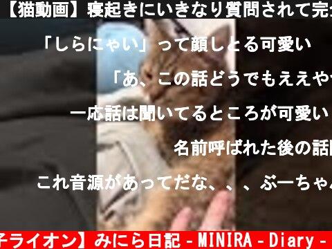 【猫動画】寝起きにいきなり質問されて完全に思考が停止する #shorts  (c) 【子ライオン】みにら日記‐MINIRA‐Diary‐