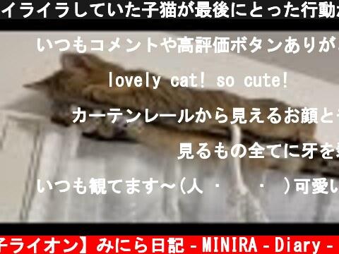 イライラしていた子猫が最後にとった行動がこちらですww  (c) 【子ライオン】みにら日記‐MINIRA‐Diary‐