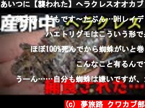 あいつに【襲われた】ヘラクレスオオカブトの産卵セットでおきた悲劇…獲物を狙う強烈なハンターと遭遇…  (c) 夢旅路 クワカブ部