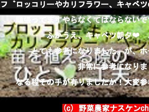 ブロッコリーやカリフラワー、キャベツの苗を植える際のひと工夫  (c) 野菜農家ナスケンch