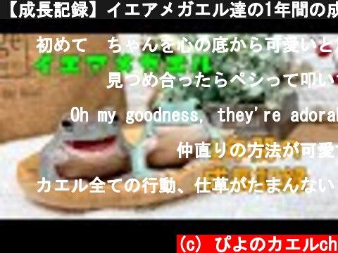 【成長記録】イエアメガエル達の1年間の成長記録♪  (c) ぴよのカエルch