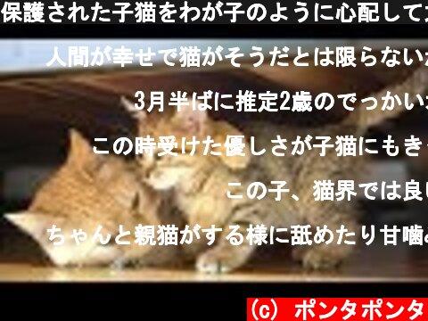 保護された子猫をわが子のように心配して大切にする茶トラ猫  (c) ポンタポンタ