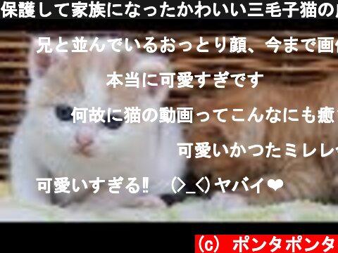 保護して家族になったかわいい三毛子猫の成長記録  (c) ポンタポンタ