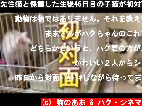 先住猫と保護した生後46日目の子猫が初対面したら意外な結果に・・・  (c) 猫のあお & ハク・シネマ