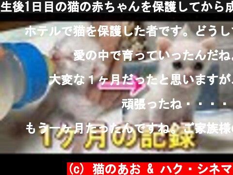 生後1日目の猫の赤ちゃんを保護してから成長してママっ子になるまでの1ケ月【保護猫】  (c) 猫のあお & ハク・シネマ