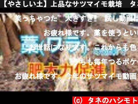 【やさしい土】上品なサツマイモ栽培 タネのハシモト  (c) タネのハシモト