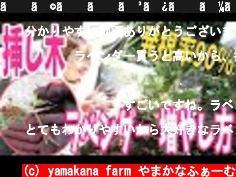 【ラベンダー】増やし方〜挿し木〜発根率90%!!!春・秋にやってみよう♫How to Propagate and grow Lavender from Cuttings  (c) yamakana farm やまかなふぁーむ
