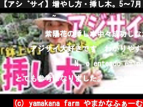 【アジサイ】増やし方・挿し木。5〜7月・9月が適期!!梅雨前に早速挿し木をして、鉢上げまでやってみました♫How To Propagate Hydrangeas From Cuttings  (c) yamakana farm やまかなふぁーむ