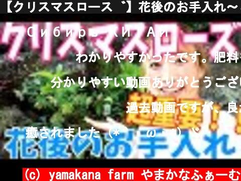 【クリスマスローズ】花後のお手入れ〜これをやるかやらないかで来年の花が決まる!?〜  (c) yamakana farm やまかなふぁーむ