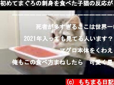 初めてまぐろの刺身を食べた子猫の反応がこちらです  (c) もちまる日記