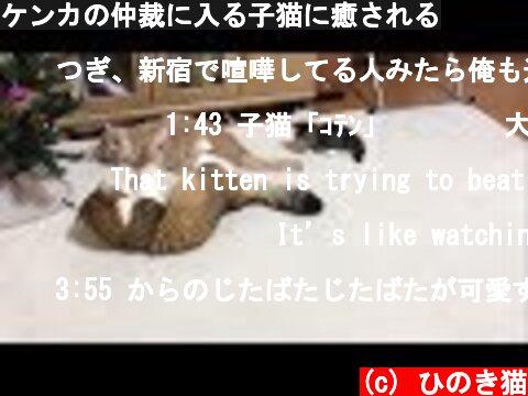 ケンカの仲裁に入る子猫に癒される  (c) ひのき猫