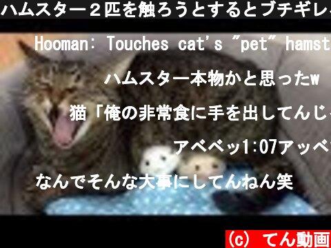 ハムスター2匹を触ろうとするとブチギレる狂暴猫  (c) てん動画