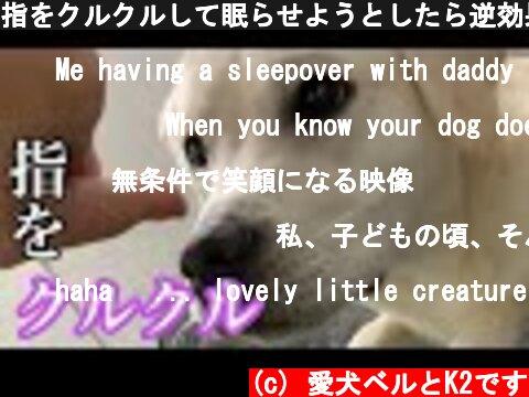 指をクルクルして眠らせようとしたら逆効果だった ラブラドールレトリバー Labrador retriever #Shorts  (c) 愛犬ベルとK2です