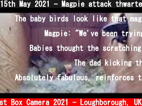 15th May 2021 - Magpie attack thwarted! - Blue tit nest box live camera highlights  (c) Live Nest Box Camera 2021 - Loughborough, UK