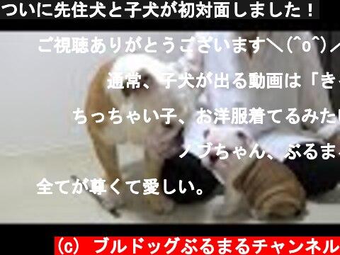 ついに先住犬と子犬が初対面しました!  (c) ブルドッグぶるまるチャンネル