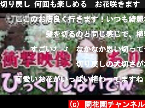 切り戻し 何回も楽しめる お花咲きます  衝撃映像【おうちでガーデニング】開花園チャンネル  (c) 開花園チャンネル