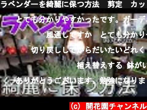 ラベンダーを綺麗に保つ方法 剪定 カット【おうちでガーデニング】開花園チャンネル  (c) 開花園チャンネル