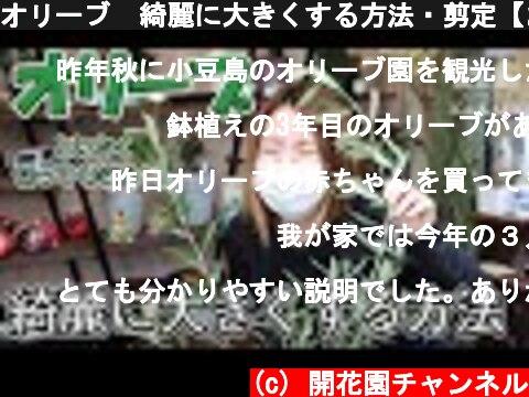 オリーブ  綺麗に大きくする方法・剪定【おうちでガーデニング】開花園チャンネル  (c) 開花園チャンネル