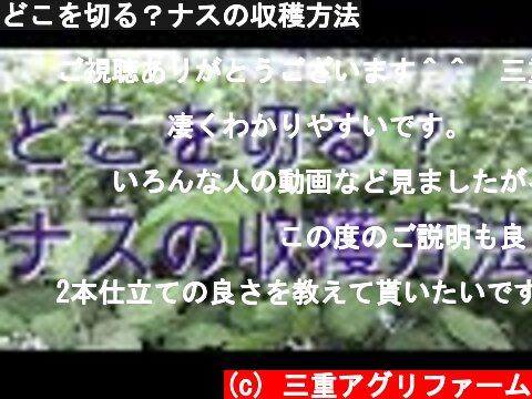 どこを切る?ナスの収穫方法  (c) 三重アグリファーム