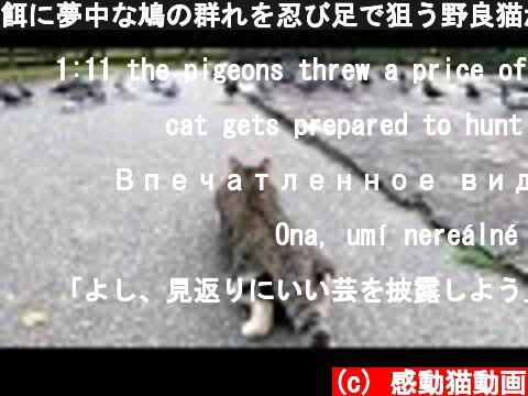 餌に夢中な鳩の群れを忍び足で狙う野良猫が面白い  (c) 感動猫動画