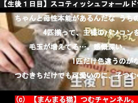 【生後1日目】スコティッシュフォールドつむの子猫の成長記録… first day, my cat and her 4 babies live together  (c) 【まんまる猫】つむチャンネル。