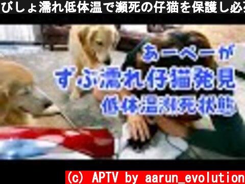 びしょ濡れ低体温で瀕死の仔猫を保護し必死で温めた結果 ゴールデンレトリバー  (c) APTV by aarun_evolution