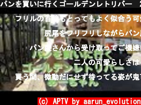 パンを買いに行くゴールデンレトリバー 2020 09 28  (c) APTV by aarun_evolution