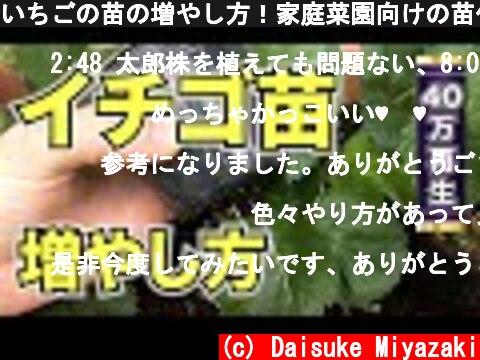 いちごの苗の増やし方!家庭菜園向けの苗作りの手順  (c) Daisuke Miyazaki