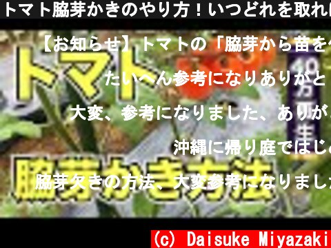 トマト脇芽かきのやり方!いつどれを取ればいいのか解説  (c) Daisuke Miyazaki