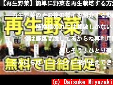 【再生野菜】簡単に野菜を再生栽培する方法プランター編【リボベジ】  (c) Daisuke Miyazaki