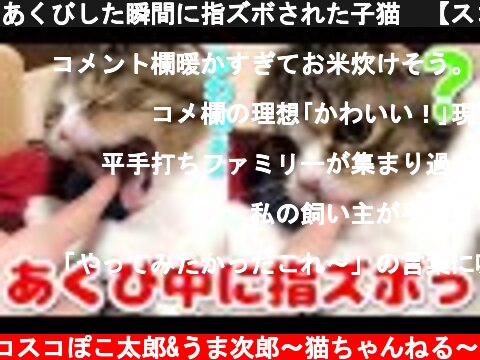 あくびした瞬間に指ズボされた子猫🐈【スコティッシュフォールド】【Scottish Fold】  (c) スコスコぽこ太郎&うま次郎〜猫ちゃんねる〜