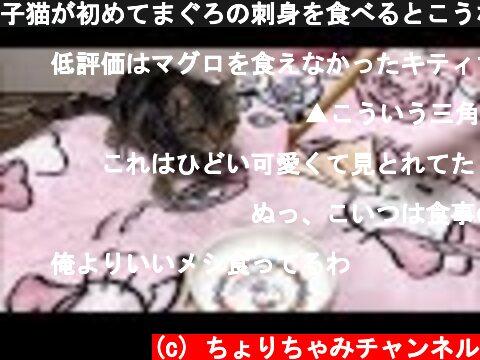 子猫が初めてまぐろの刺身を食べるとこうなりますw  (c) ちょりちゃみチャンネル