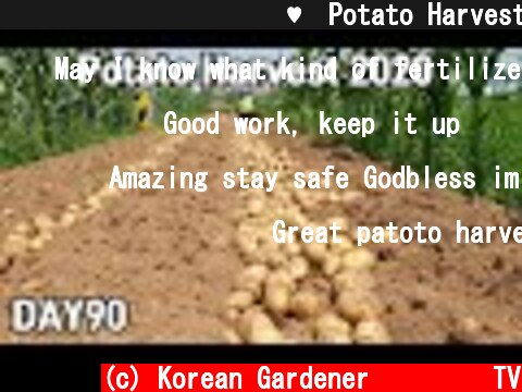 맛있는 노지 감자 수확♥ㅣPotato Harvest 2020  (c) Korean Gardener 초록식물TV