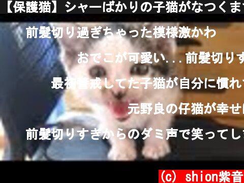 【保護猫】シャーばかりの子猫がなつくまで cautious kitten becoming friendly with me  (c) shion紫音