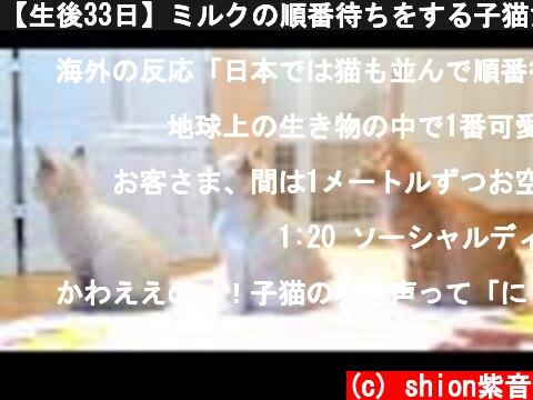 【生後33日】ミルクの順番待ちをする子猫たちがかわいい【保護子猫】kittens waiting for milk  (c) shion紫音