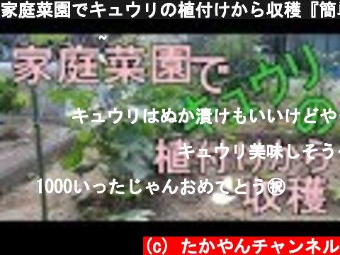 家庭菜園でキュウリの植付けから収穫『簡単支柱立て・誘引方法』  (c) たかやんチャンネル