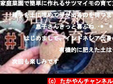 家庭菜園で簡単に作れるサツマイモの育て方#1『種子島産安納芋』芽が出たサツマイモから苗づくり、植え付け方法!!  (c) たかやんチャンネル