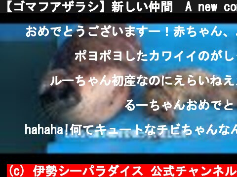 【ゴマフアザラシ】新しい仲間 A new companion.(伊勢シーパラダイス)  (c) 伊勢シーパラダイス 公式チャンネル