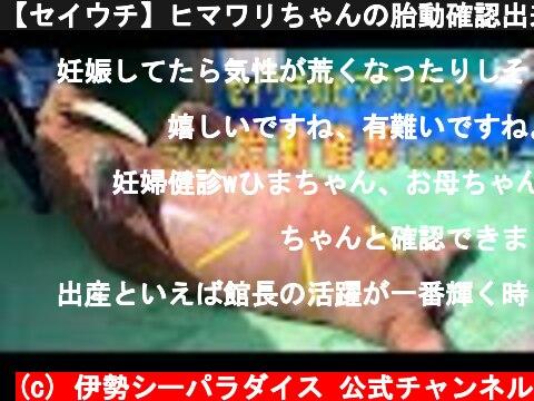 【セイウチ】ヒマワリちゃんの胎動確認出来ました!(伊勢シーパラダイス)  (c) 伊勢シーパラダイス 公式チャンネル