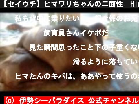 【セイウチ】ヒマワリちゃんの二面性 Himawari's two-faced.(伊勢シーパラダイス)  (c) 伊勢シーパラダイス 公式チャンネル