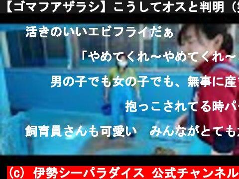【ゴマフアザラシ】こうしてオスと判明(笑)In this way it turned out to be a boy!lol(伊勢シーパラダイス)  (c) 伊勢シーパラダイス 公式チャンネル